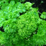 Fresh curly parsley.